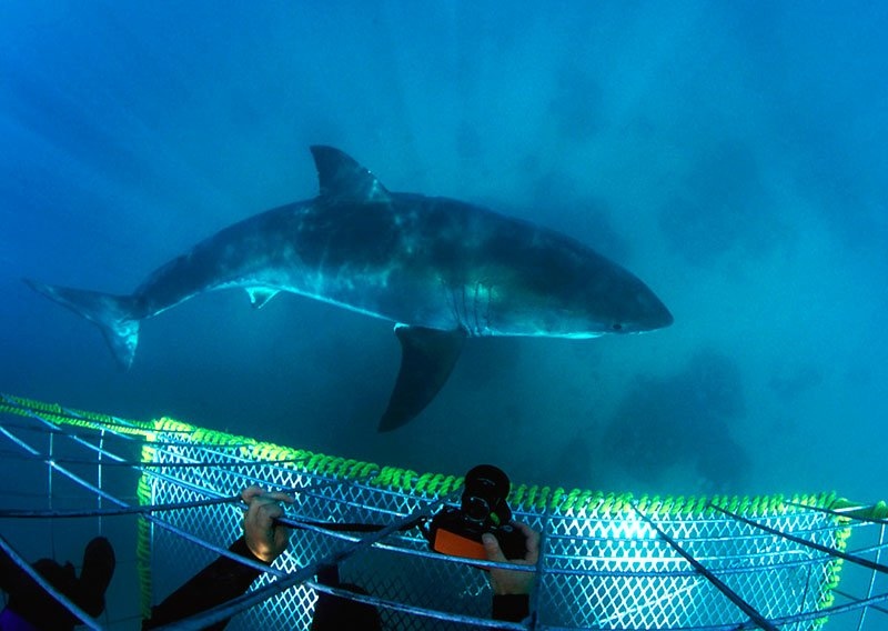 Shark diving, Cape Town