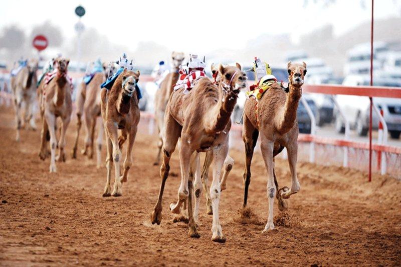 Al marmoum camel race track dubai thecheapjerseys Image collections
