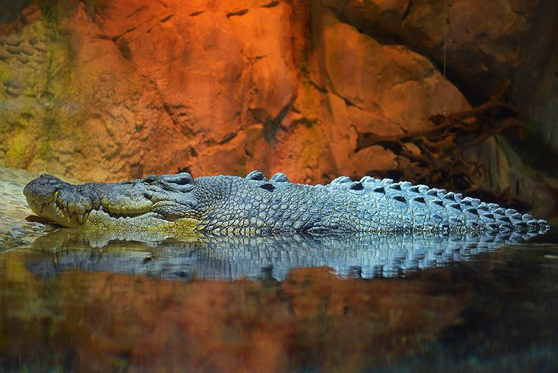 King Croc, Dubai