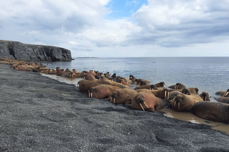 Walruses on the shore, North Slope