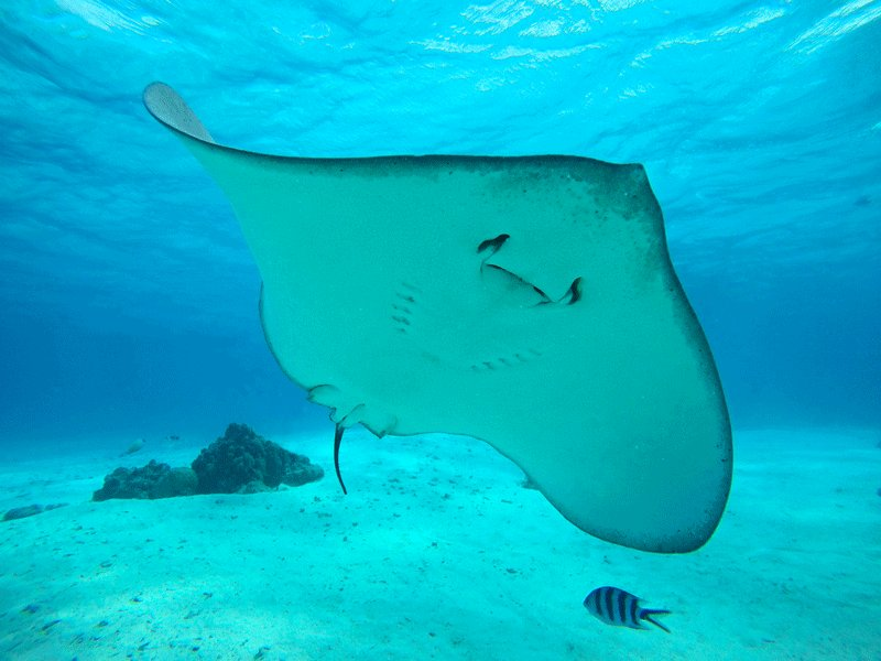 Take a look how a stingray is smiling, Bora Bora