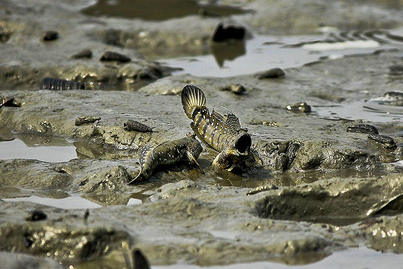 Mudskipper, Phuket