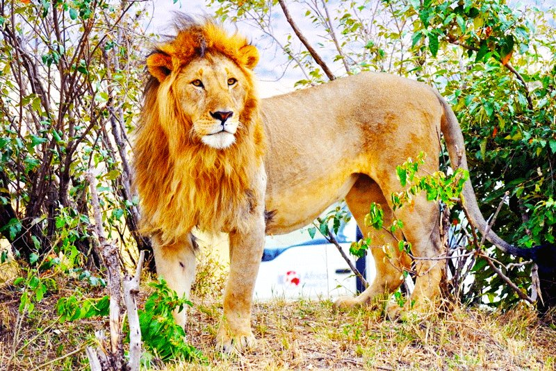 A lion could be recognized by the spesific roar, Arusha