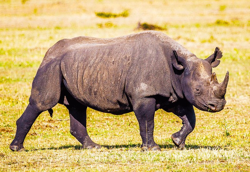 It's hardest to find a black rhino - they often hide in forest thickets, Arusha