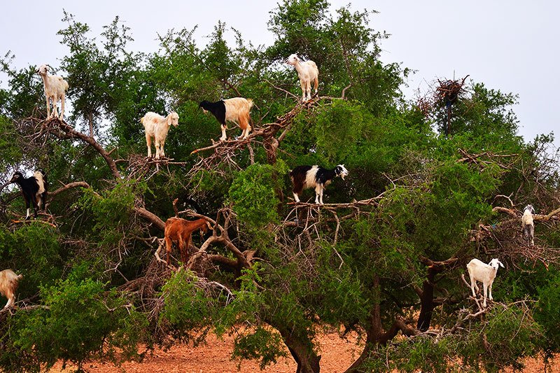 Goats on Argania