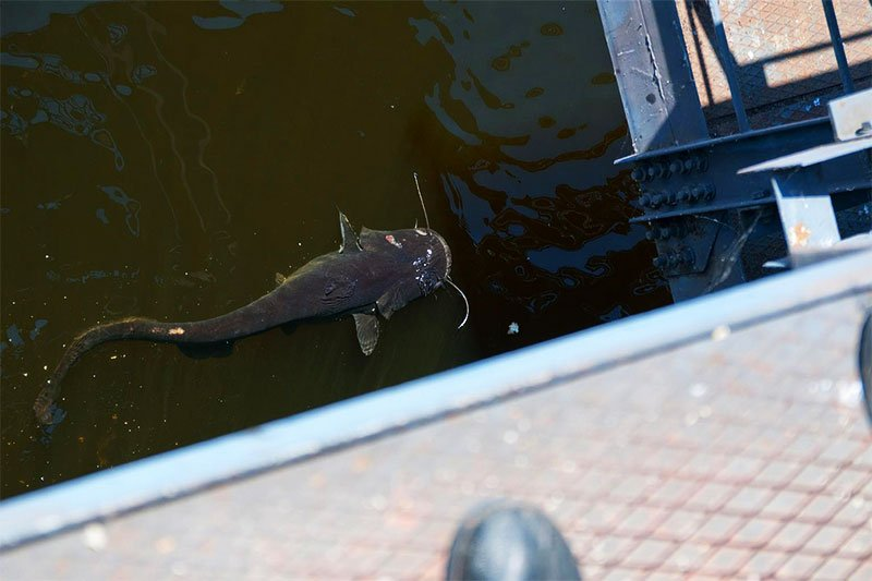 Catfish in the cooling pond of the Chernobyl Nuclear Power Station
