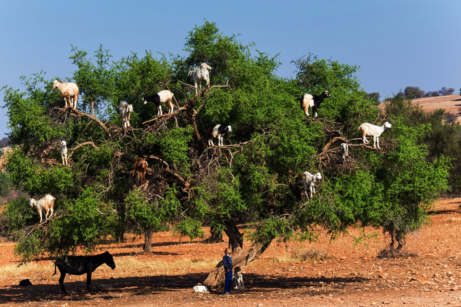 How to see goats grazing on trees in Marrakesh