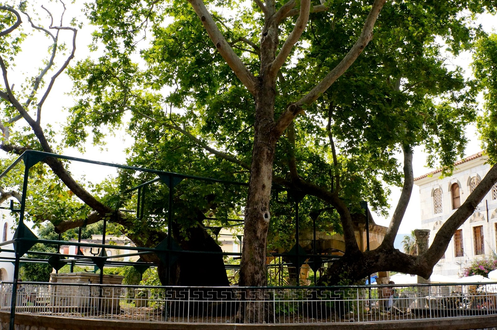 How to seat ander the legendary Tree of Hippocrates on Kos