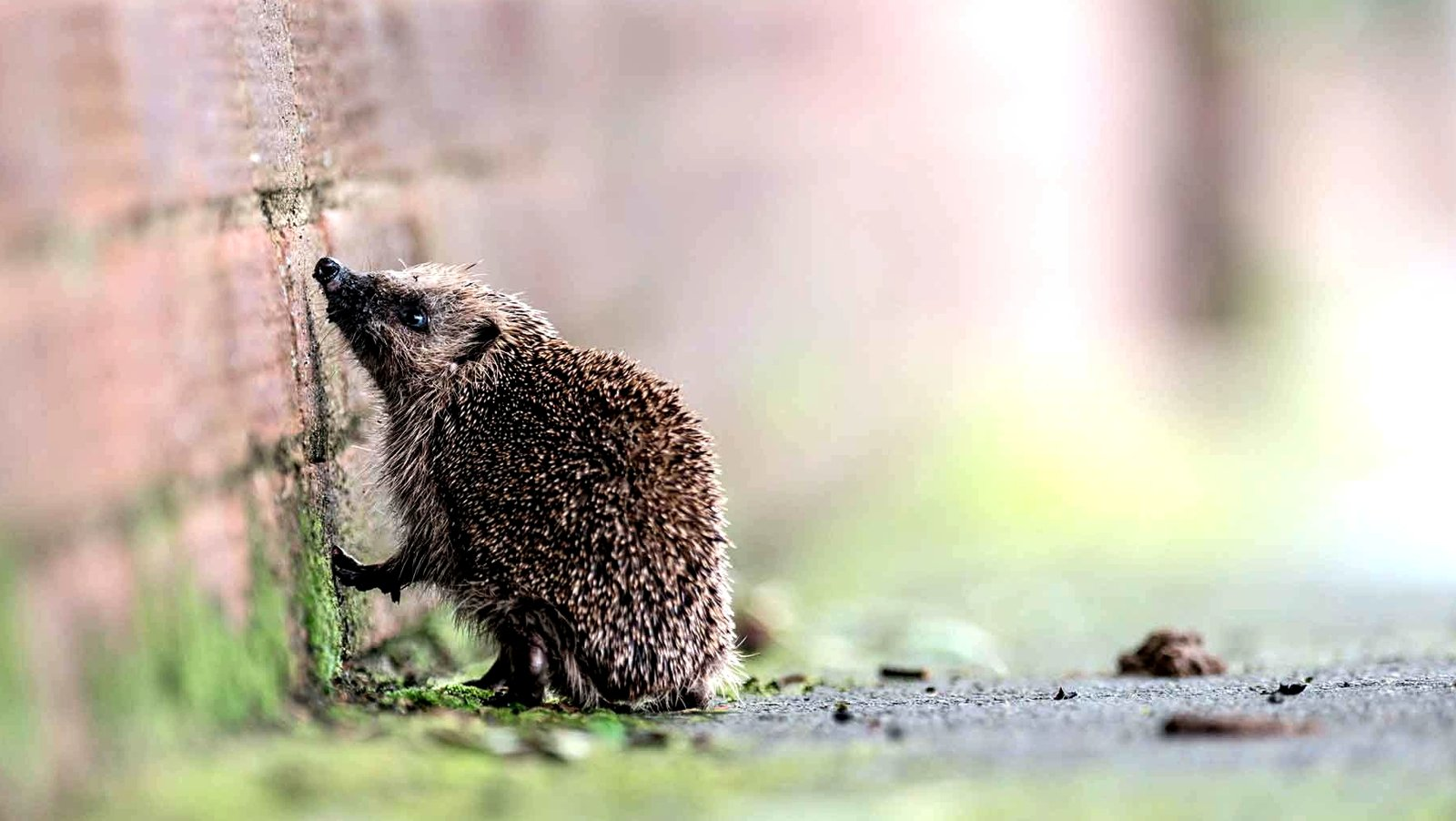 How to find a hedgehog in Kiev