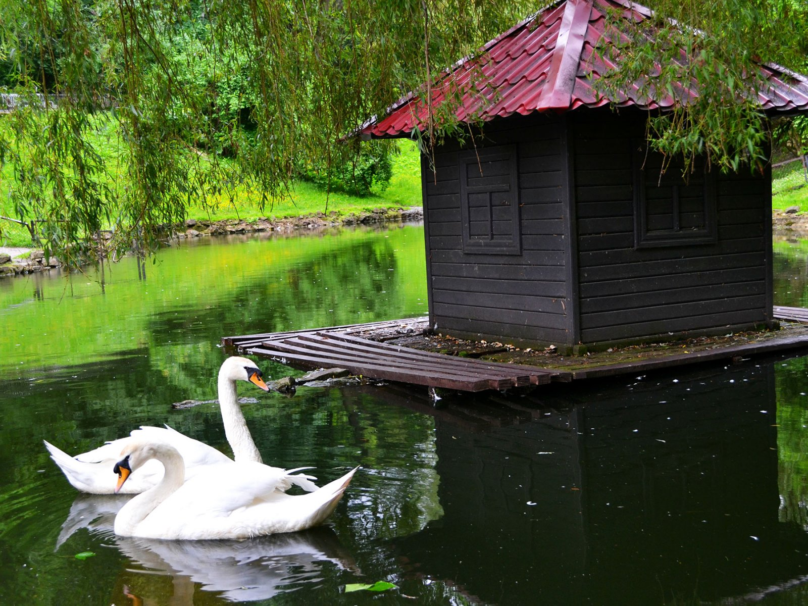 How to feed swans in Stryiskyi park in Lviv