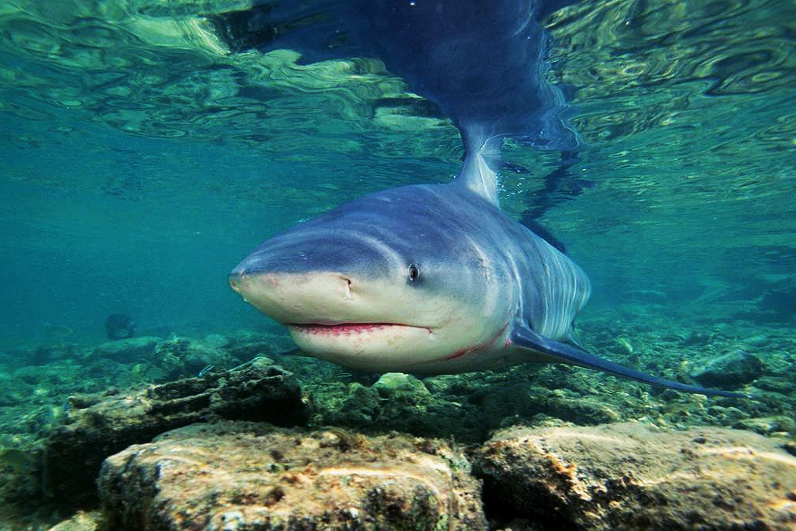 How to feed freshwater sharks in lake Nicaragua in Granada