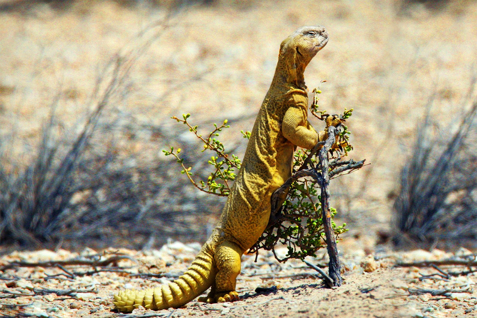 How to see uromastyx in Dubai