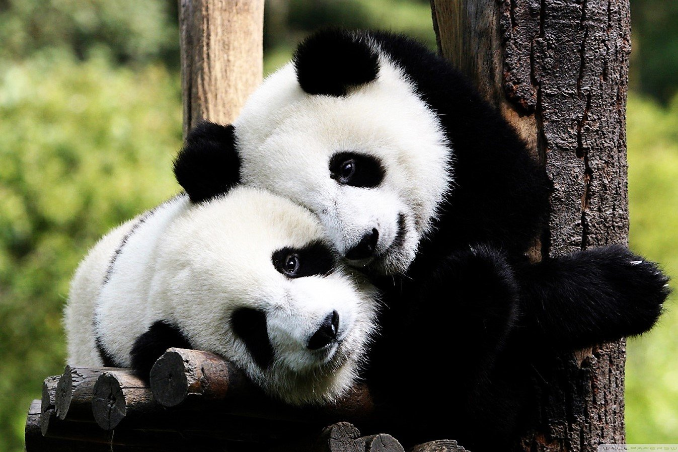 How to hug a panda in Chengdu