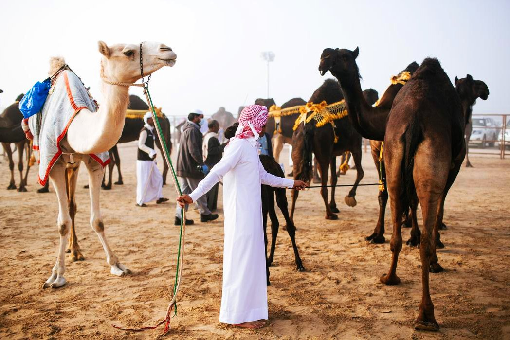 How to watch camel beauty contest in Abu Dhabi