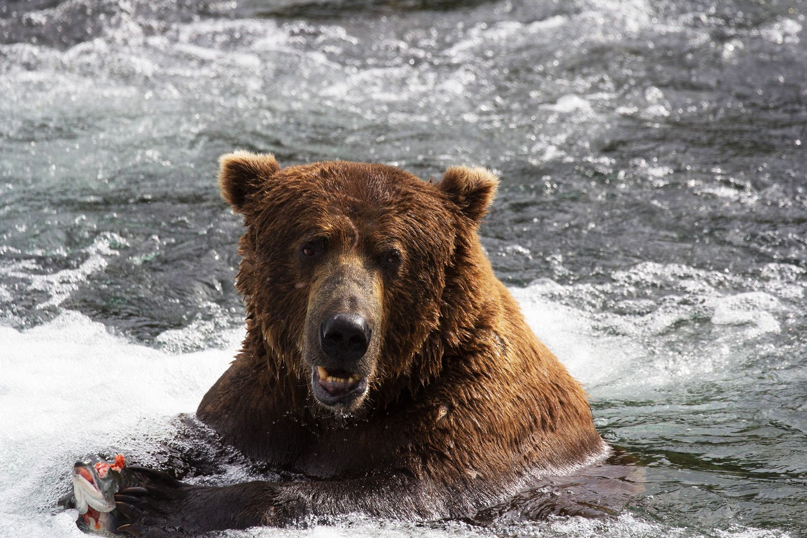 How to see Grizzly bears in Anchorage