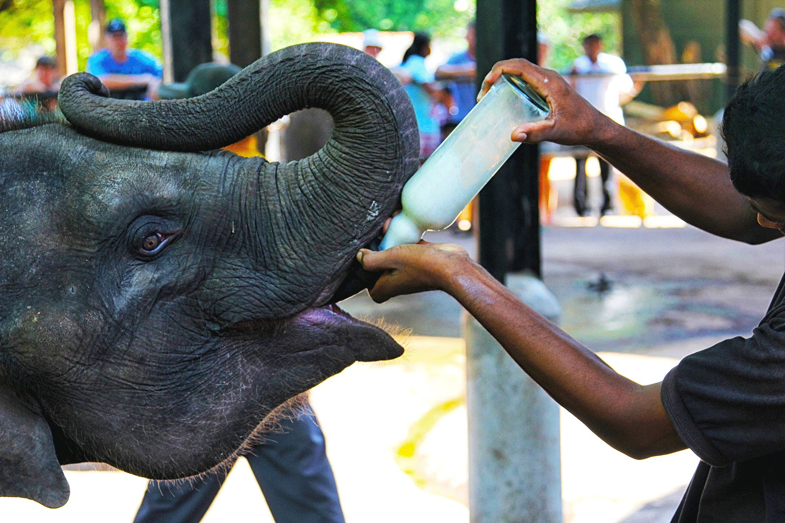 How to feed a baby elephant in Kandy
