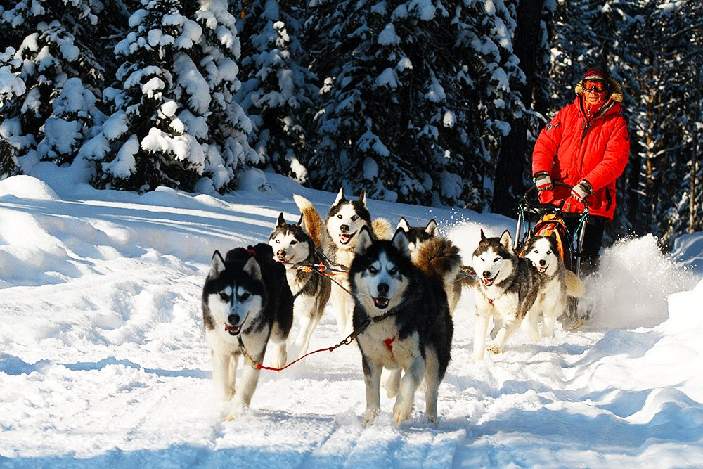 How to take a husky-drawn ride in Rovaniemi