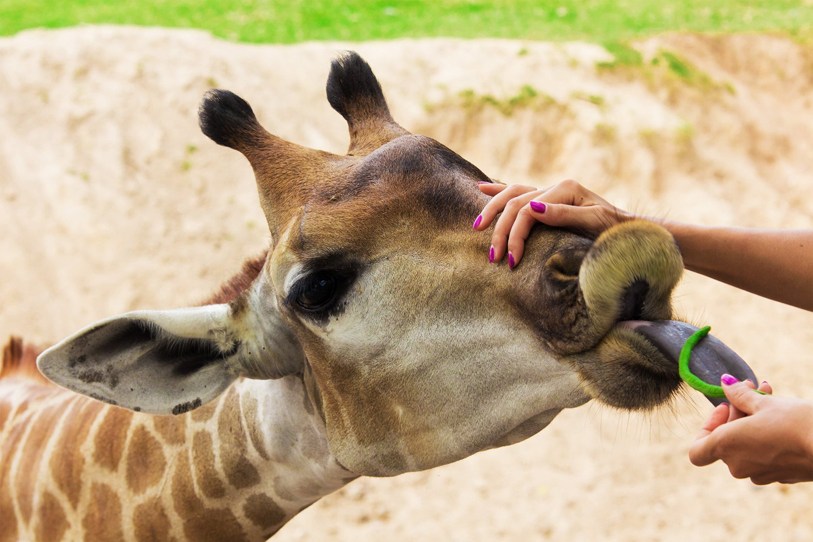 How to feed giraffes in Al Ain