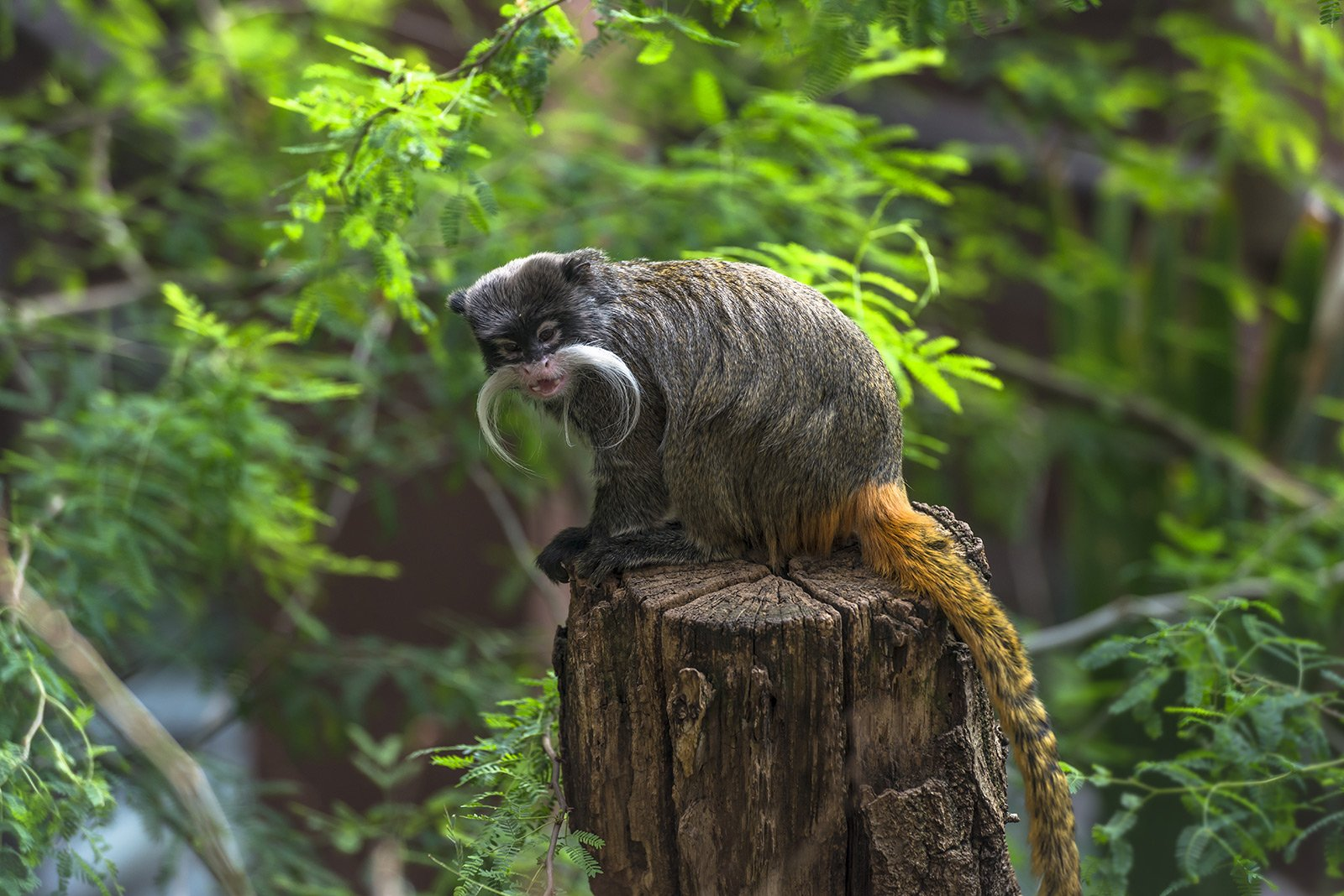 How to see tamarins in Rio de Janeiro