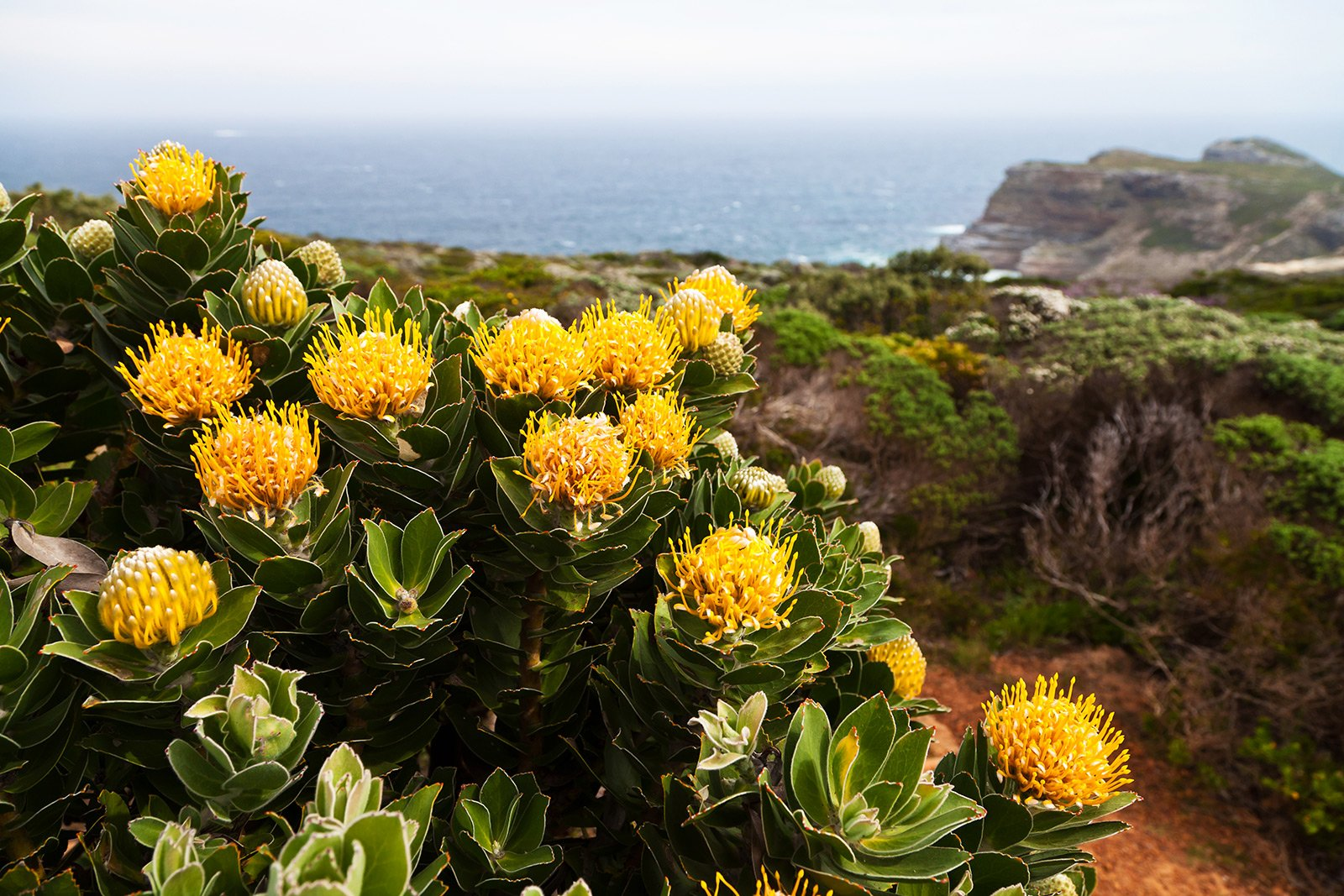 How to find protea – the symbol of the RSA in Cape Town
