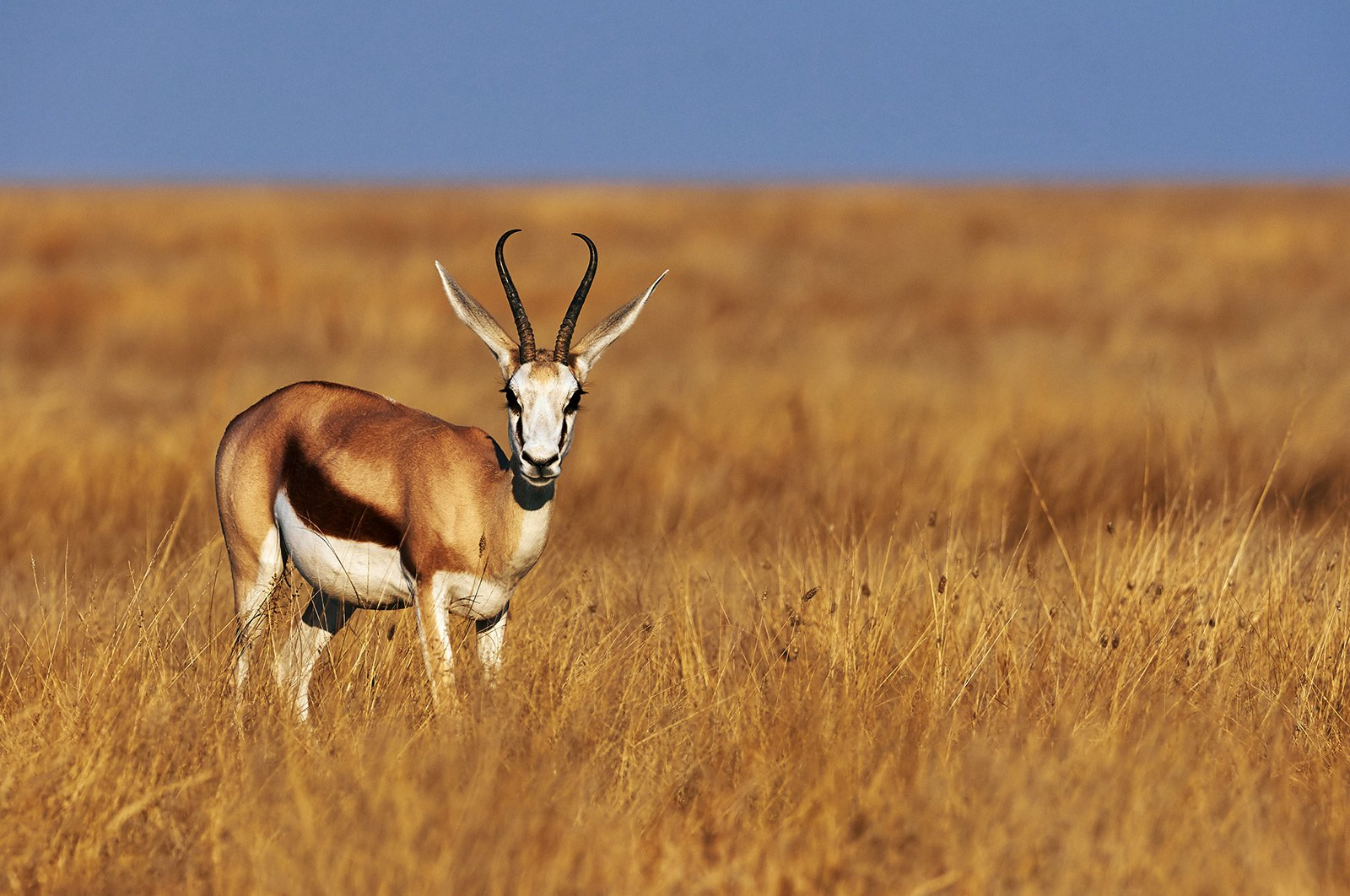 How to see a springbok — the symbol of the RSA in Cape Town
