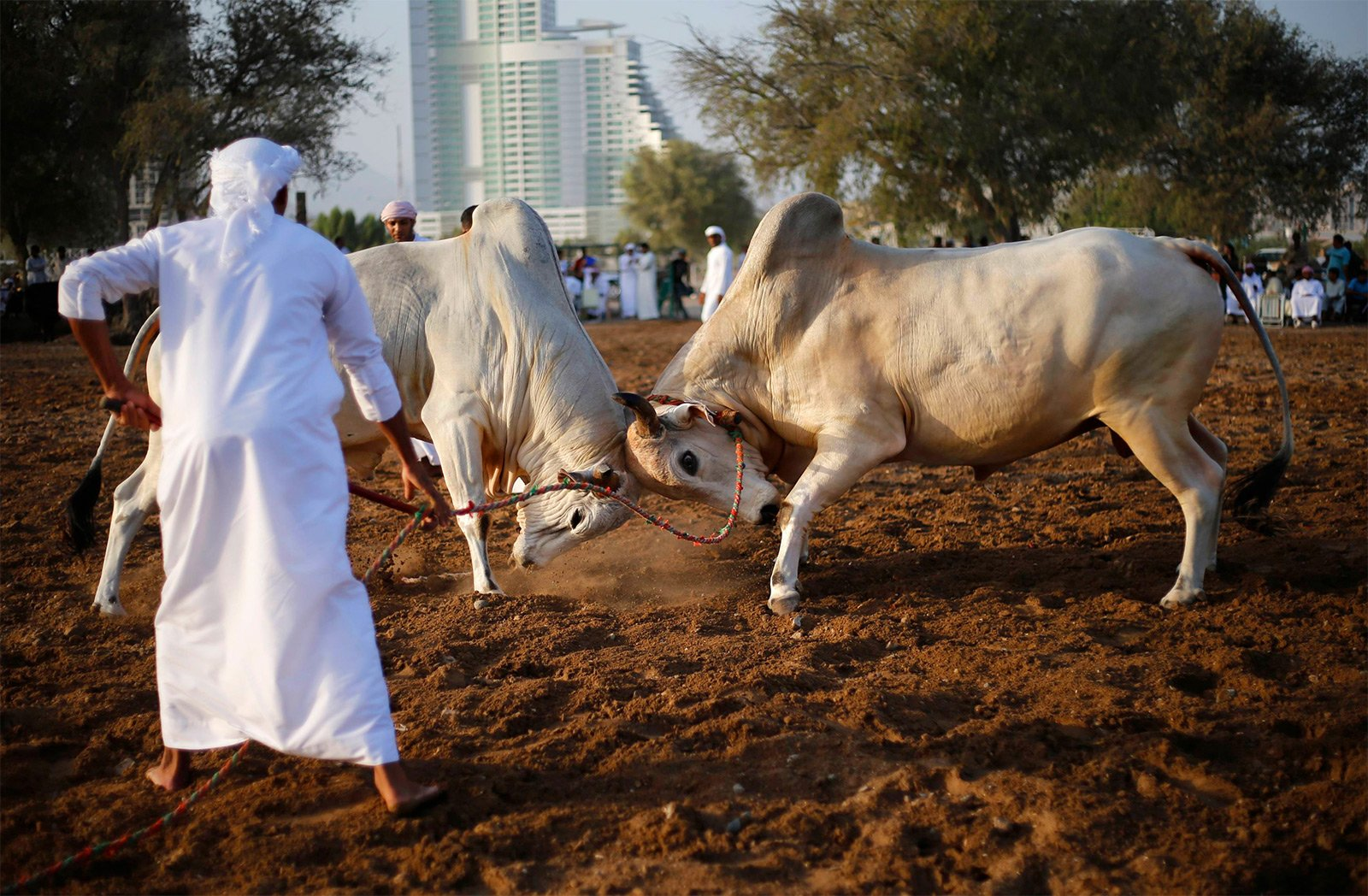 How to see bullfights in Fujairah