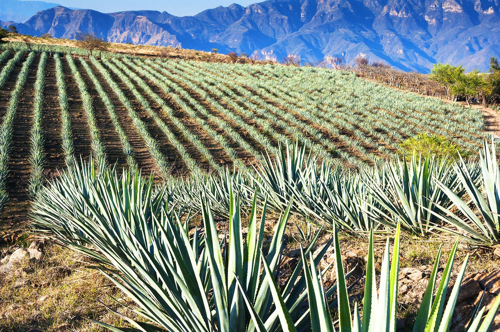 How to find out how they produce tequila in Guadalajara