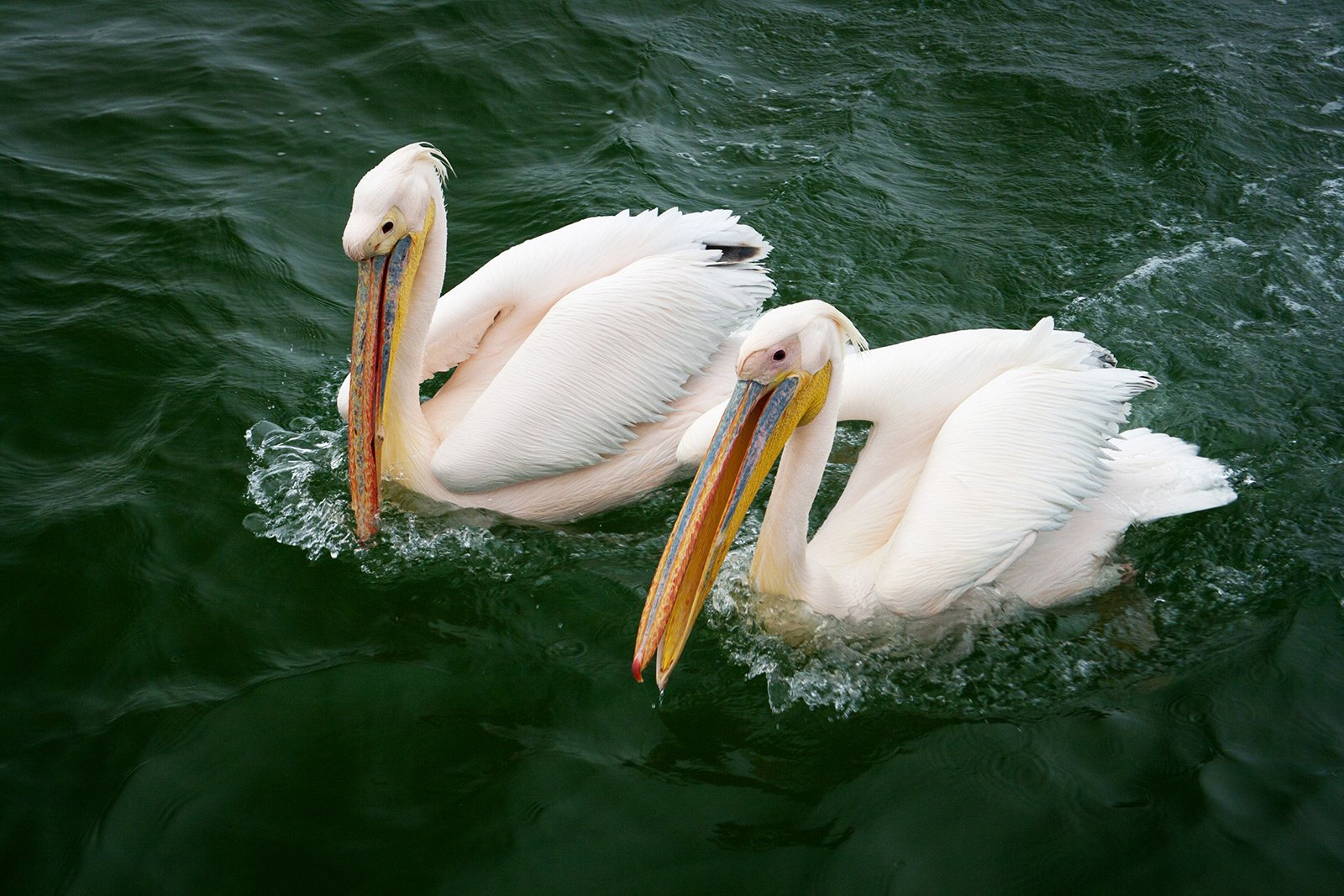How to feed pink pelicans in Guadalajara