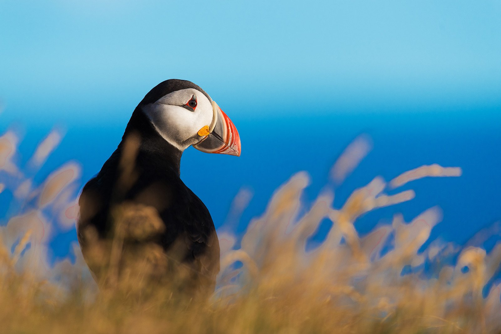 How to see Atlantic puffins in their habitat in Reykjavik