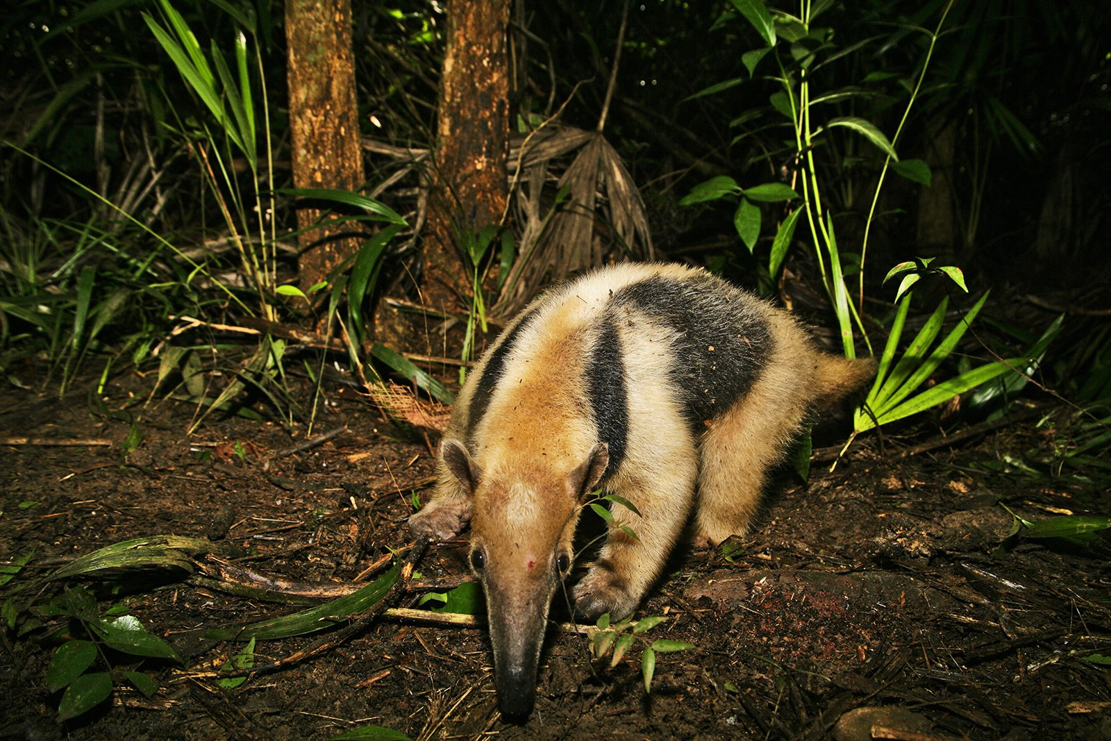 How to see a tamandua in Cancun