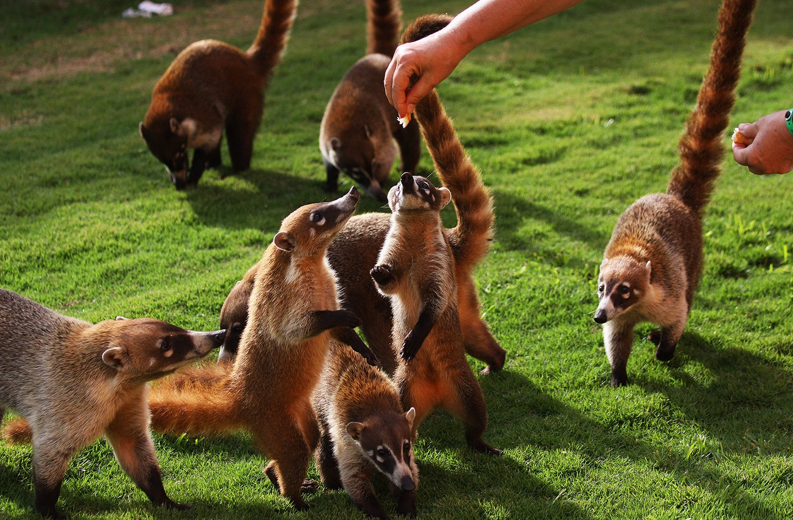 How to feed coatis in Cancun
