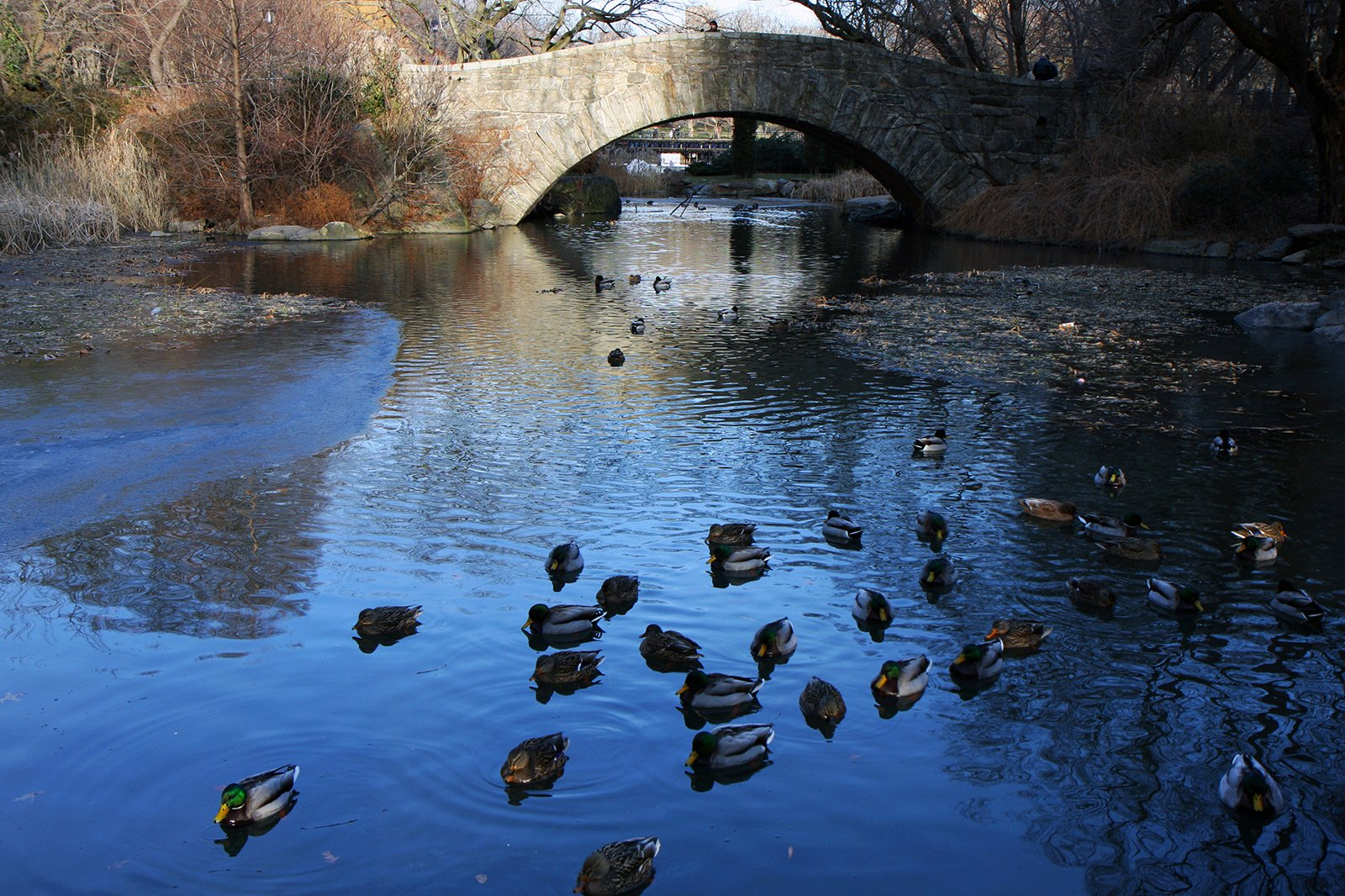 How to feed ducks in Central Park in New York