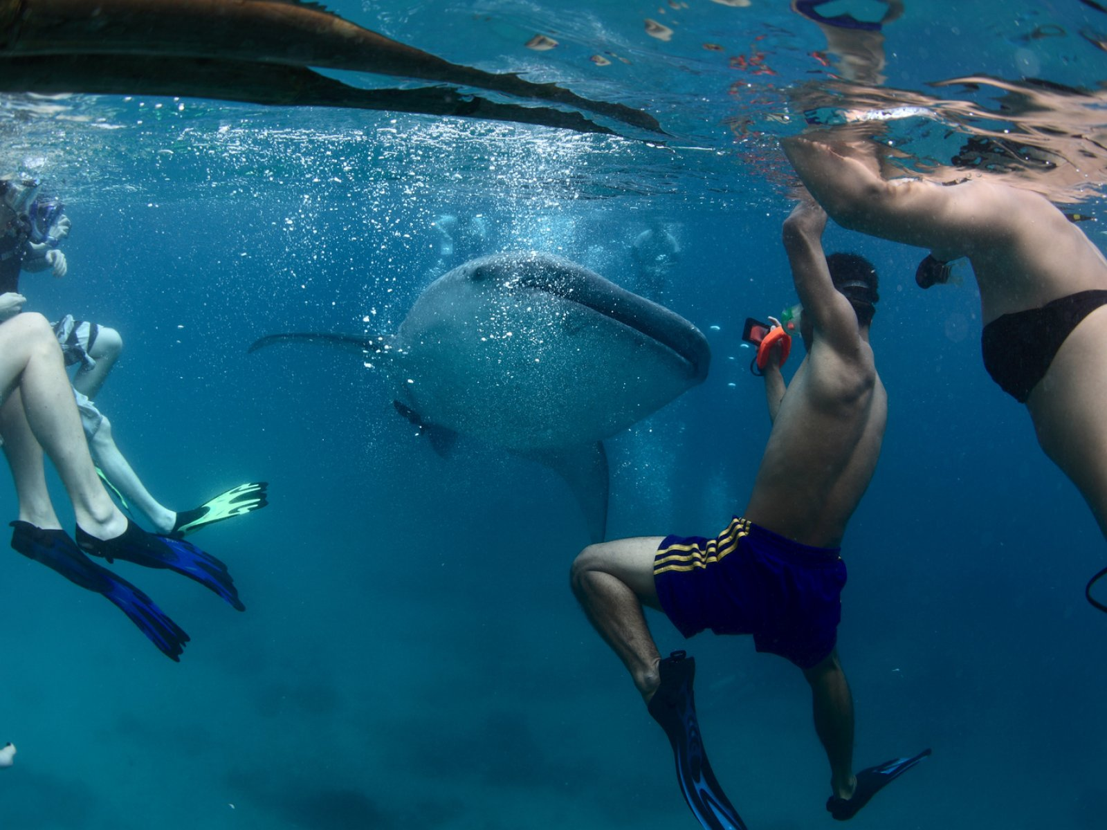 How to snorkel with whale sharks in Ari Atoll