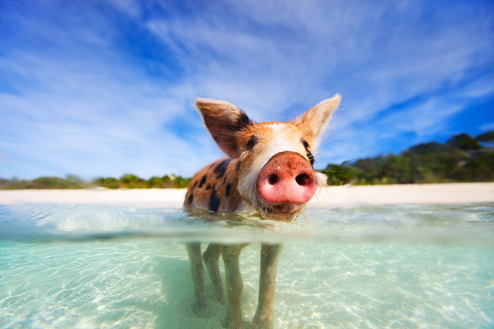 How to swim with pigs in George Town