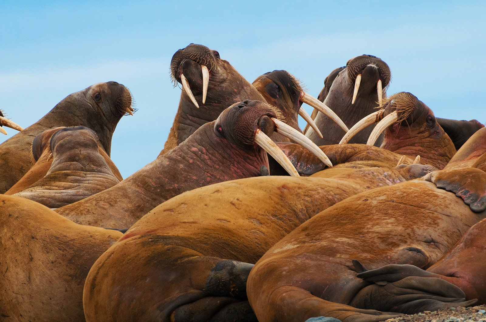 How to see walruses in Svalbard