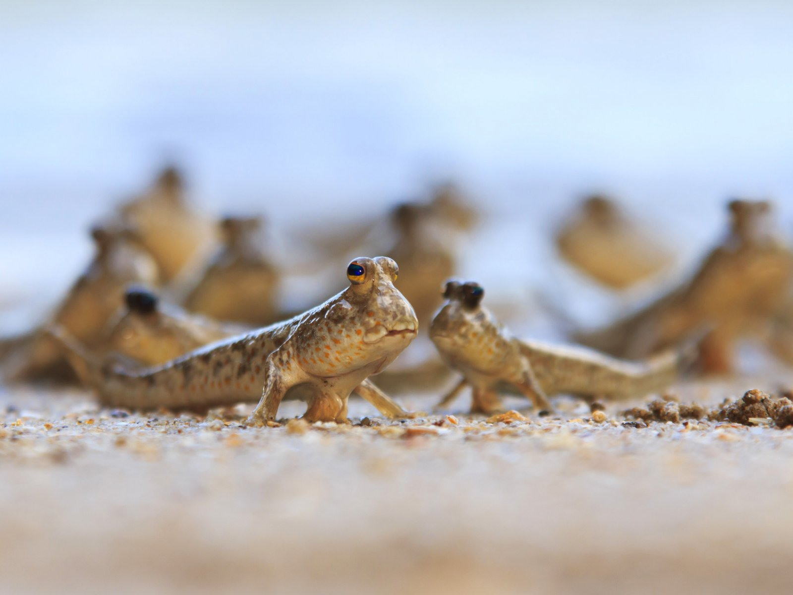 How to see a mudskipper in Phuket