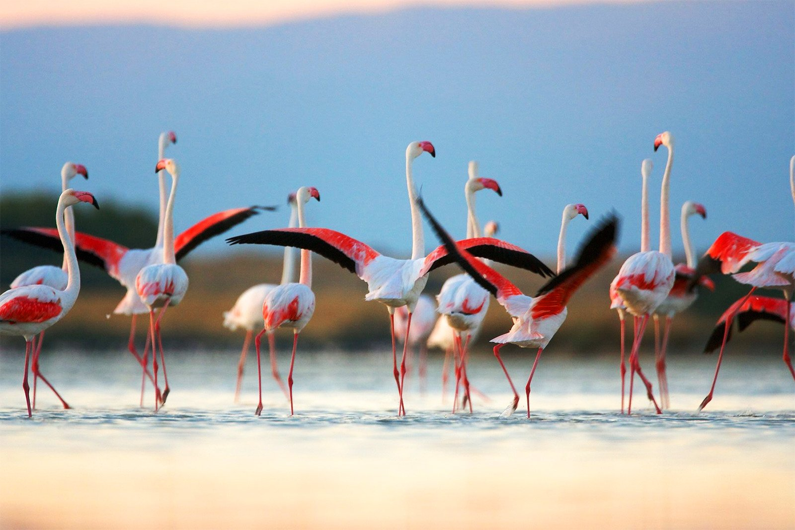How to see the pink flamingos on Sardinia