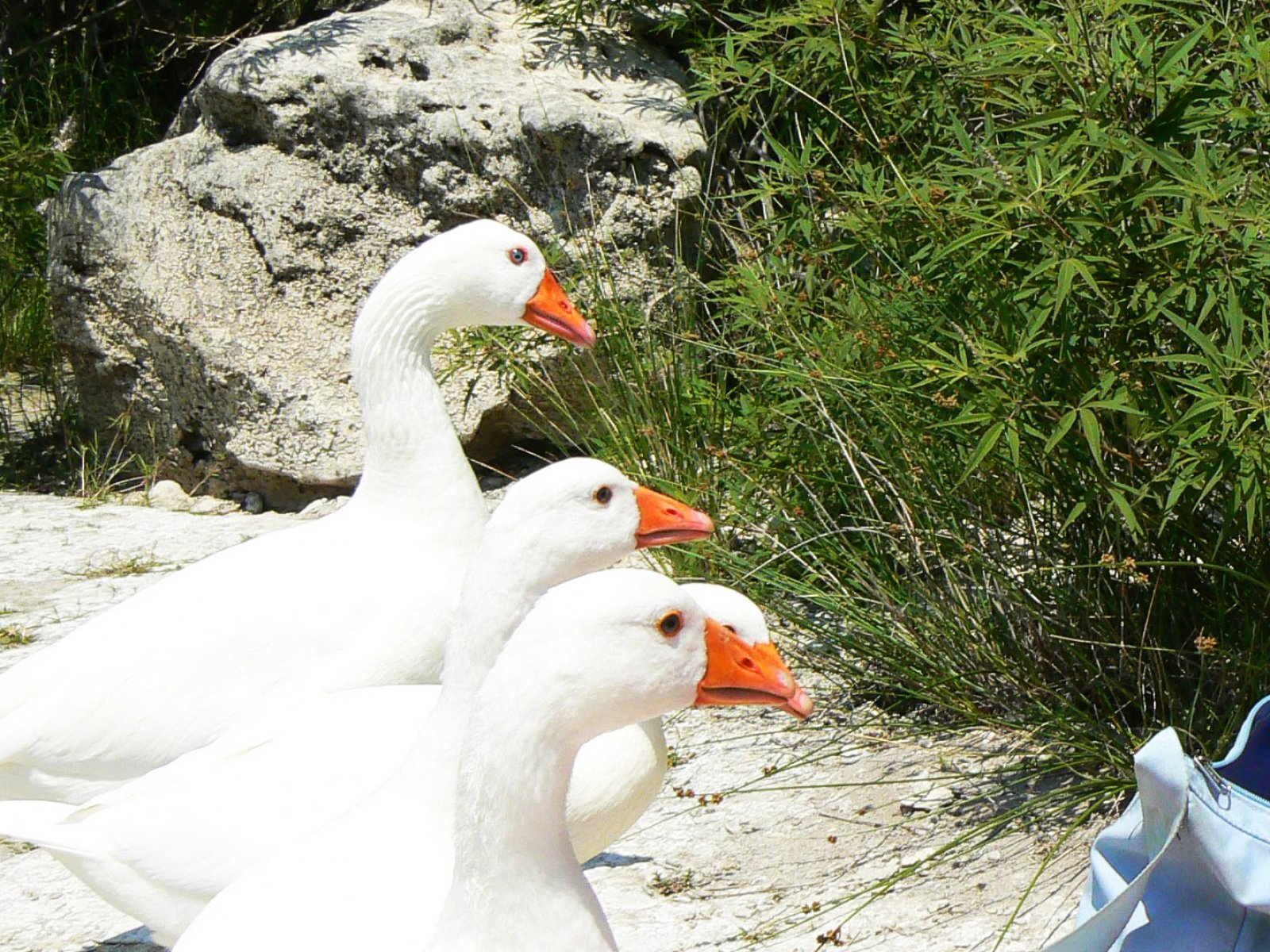 How to feed the wild geese and ducks near the lake Kournas on Crete