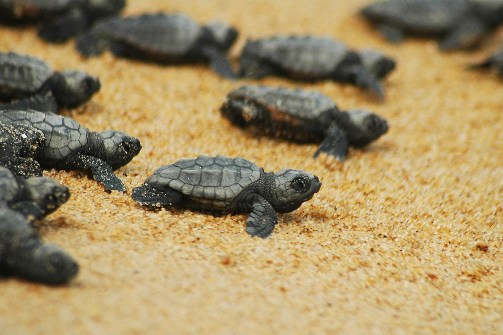 How to see the birth of turtles Caretta-Caretta on Crete