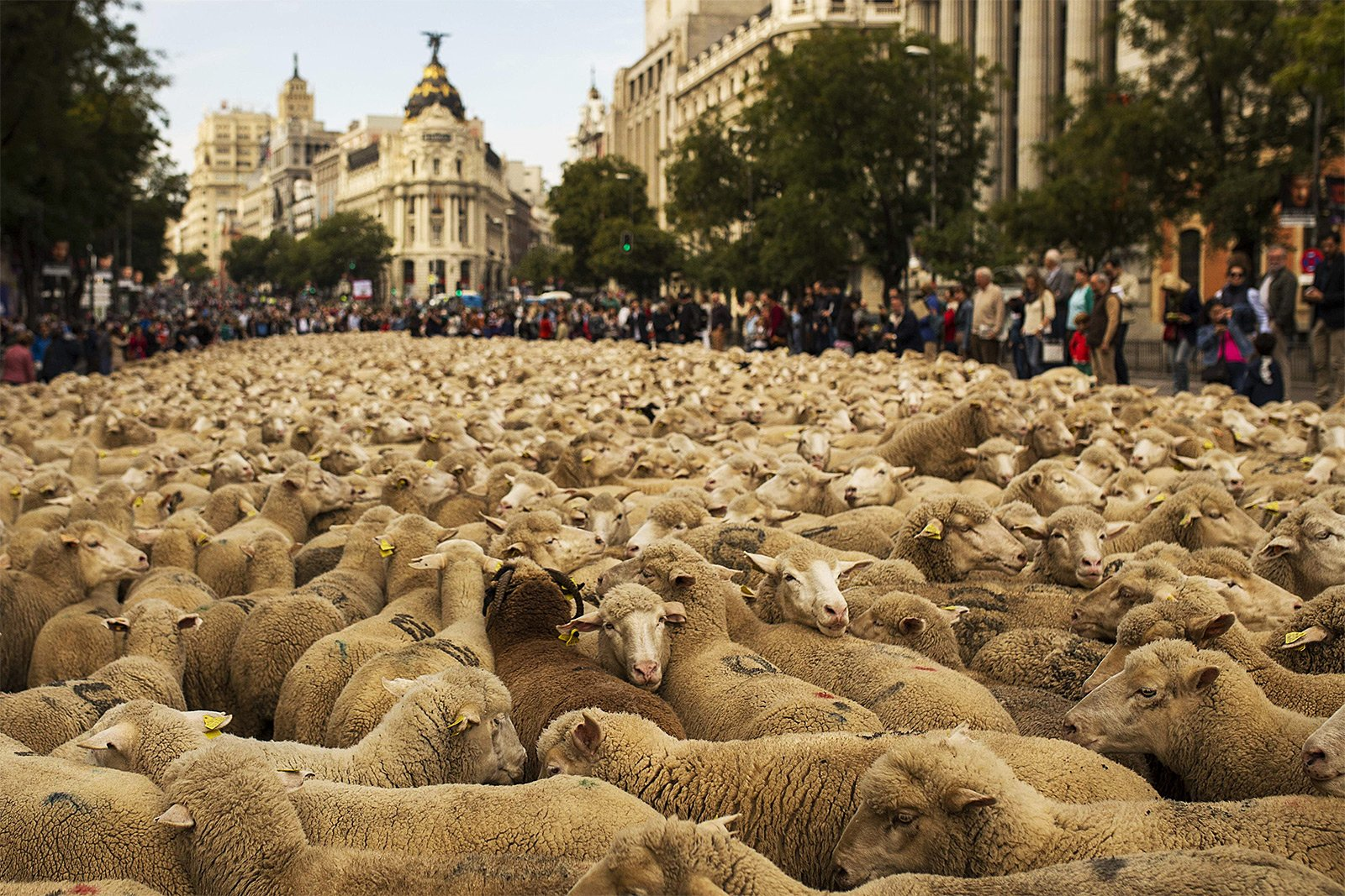 How to see the procession of sheep through the city in Madrid