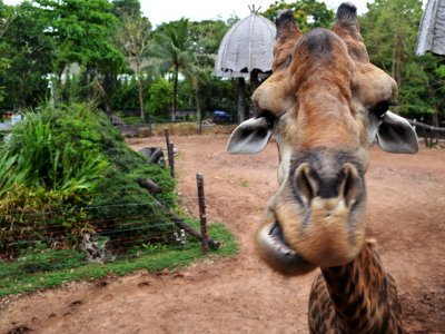Feed a giraffe in Bangkok