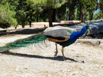 See peacocks on Rhodes