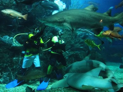 Diving with grey nurse sharks in Bangkok