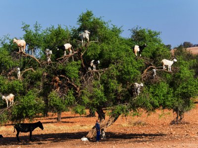 See goats grazing on trees in Marrakesh