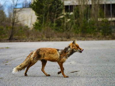 See animals living in the ghost town in Chernobyl
