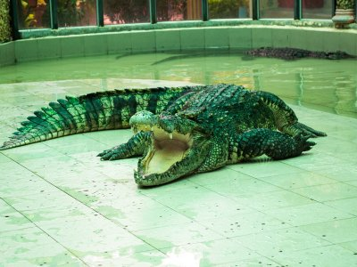 Drag a crocodile by its tail in Phuket