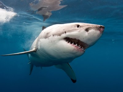 Go for white shark diving in Cape Town