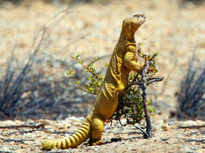 See uromastyx in Dubai
