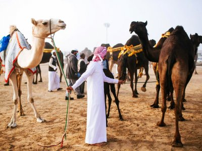 Watch camel beauty contest in Abu Dhabi
