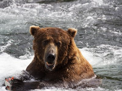 See Grizzly bears in Anchorage